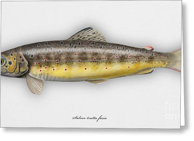 Finny Greeting Cards - Brown Trout - Salmo trutta morpha fario - Salmo trutta fario - game fish - flyfishing Greeting Card by Urft Valley Art