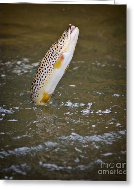 Brown Trout Photographs Greeting Cards - Brown trout with a nymph Greeting Card by Joseph Ciferno Jr