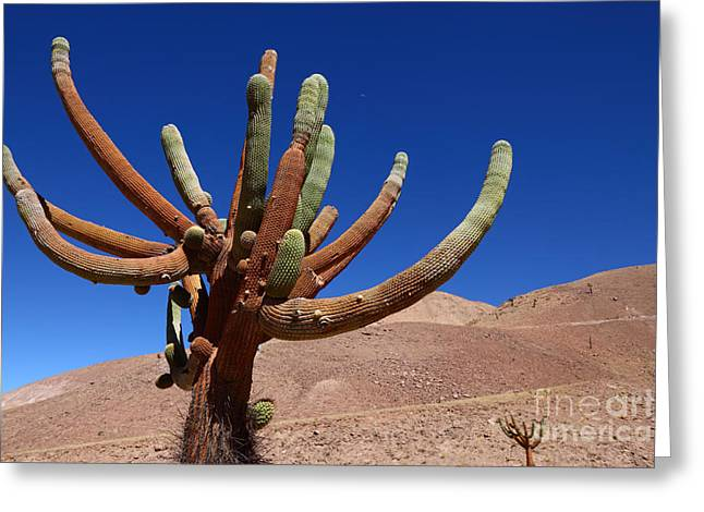 Green Chile Greeting Cards - Browningia candelaris Cactus Chile Greeting Card by James Brunker