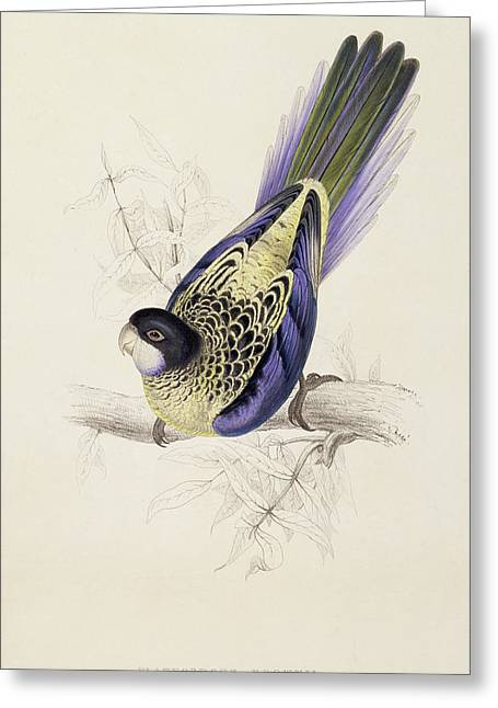 Tail Feather Greeting Cards - Browns Parakeet Greeting Card by Edward Lear