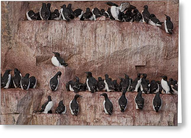 Seabirds Greeting Cards - Brunnichs Guillemot Uria Lomvia Greeting Card by Panoramic Images