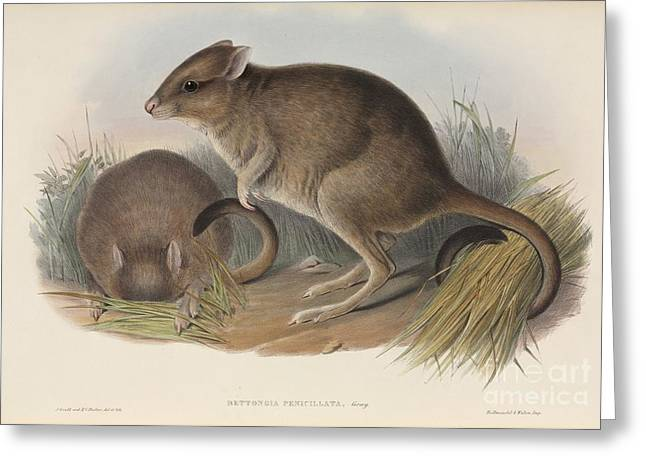 John Gould Greeting Cards - Brush-tailed Bettongs, Artwork Greeting Card by Natural History Museum, London