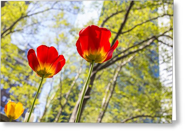 Bryant Park Pyrography Greeting Cards - Bryant Park Tulips New York  Greeting Card by Angela A Stanton
