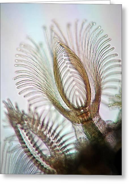 Bryozoans Greeting Card by Marek Mis