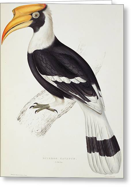 Himalayan Greeting Cards - Buceros Cavatus, From A Century Of Birds From The Himalaya Mountains, 1830-32 By John Gould 1804-81 Greeting Card by Elizabeth Gould