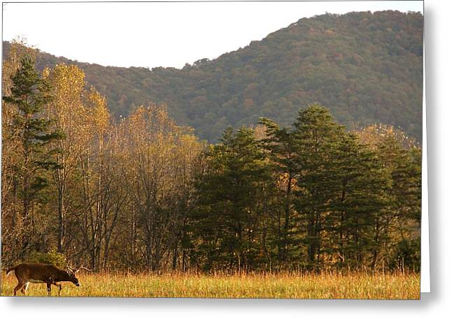 Gatlinburg Tennessee Greeting Cards - Buck In Cades Cove Autumn Greeting Card by Dan Sproul
