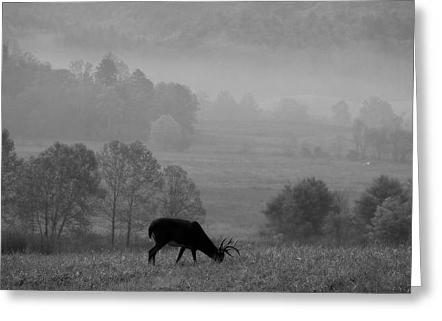 Gatlinburg Tennessee Greeting Cards - Buck In Cades Cove Black And White Greeting Card by Dan Sproul