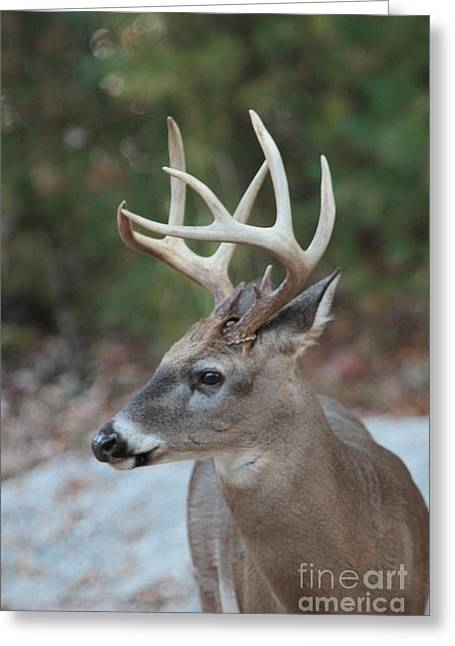 Print Photographs Greeting Cards - Buck looking 7 of 24 Greeting Card by Dwight Cook