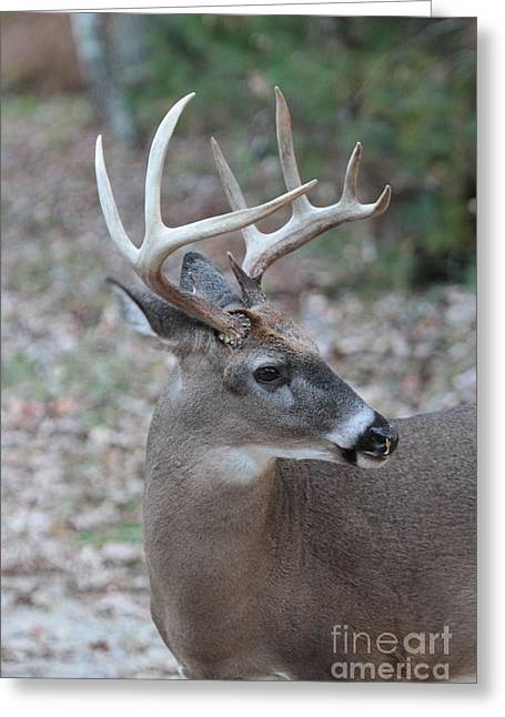 Rudolph Greeting Cards - Buck side view Greeting Card by Dwight Cook