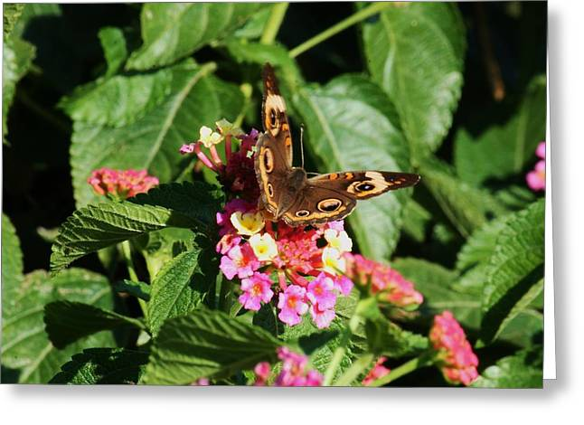 Butterflies Pyrography Greeting Cards - Buckeye Butterfly Greeting Card by Phyllis Luedke