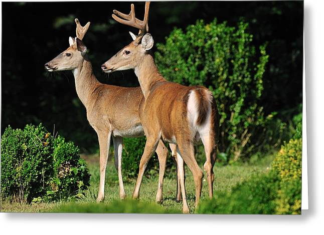 Bucks In Silk Greeting Card by Angel Cher