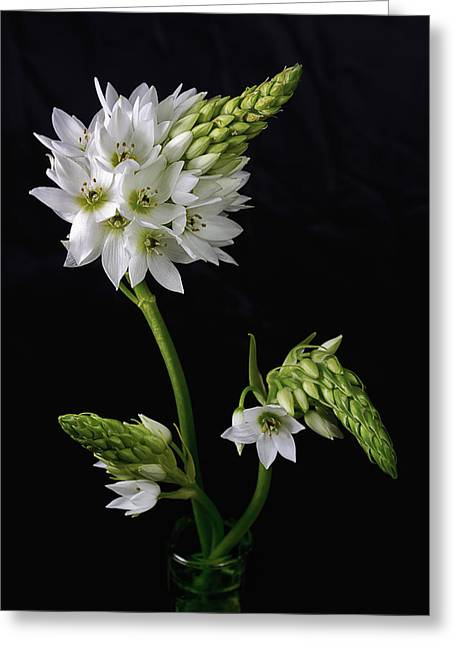 Star Of Bethlehem Greeting Cards - Budding Beauty Greeting Card by Kim Andelkovic