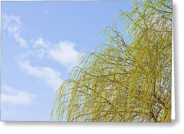 Weeping Photographs Greeting Cards - Budding willow Greeting Card by Tom Gowanlock