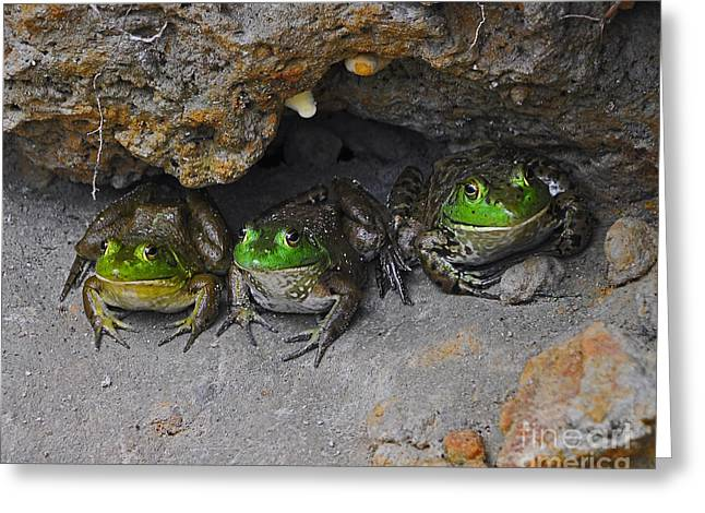 Amphibian Humorous Frog Picture Greeting Cards - Bud Bullfrogs Greeting Card by Al Powell Photography USA