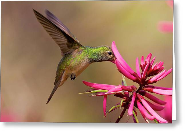 Buff-bellied Hummingbird (amazilia Greeting Card by Larry Ditto