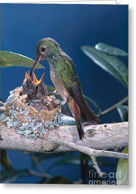 Feeds Chicks Greeting Cards - Buff-bellied Hummingbird At Nest Greeting Card by Anthony Mercieca