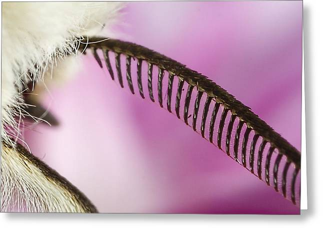 Moth Greeting Cards - Buff Ermine moth antenna Greeting Card by Mr Bennett Kent