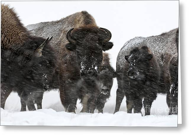 Snowstorm Greeting Cards - Buffalo - Yellowstone Family Portrait Greeting Card by Wildlife Fine Art