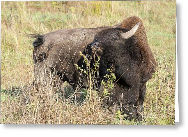 American Bison Greeting Cards - Buffalo Backscratch Greeting Card by Mike Dawson