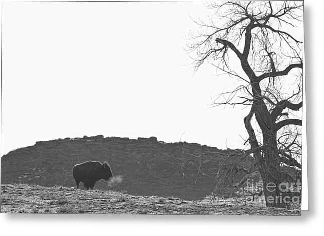 Wildlife Art Metal Prints Greeting Cards - Buffalo Breath BW Greeting Card by James BO  Insogna