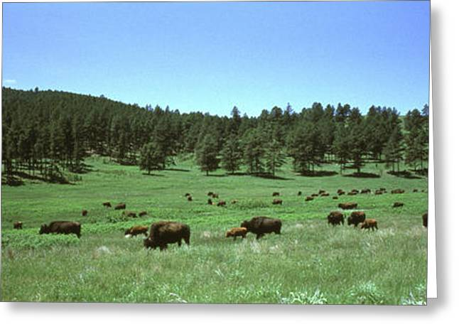 Buffalo, Custer State Park Greeting Card by Novastock