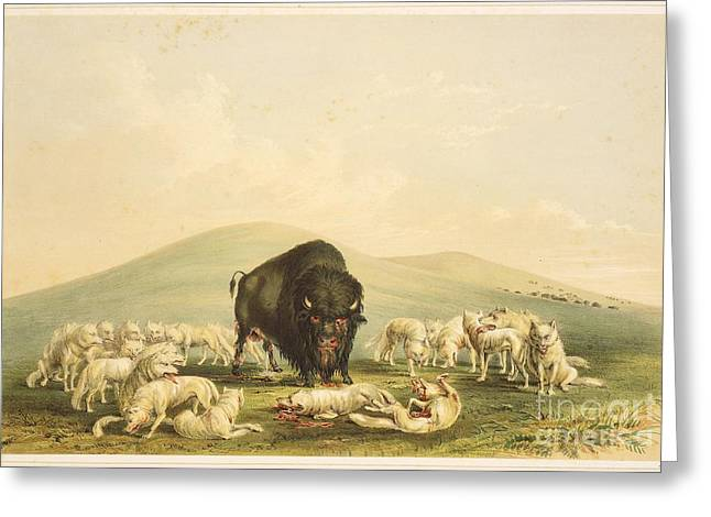 Courage Paintings Greeting Cards - Buffalo Hunt White Wolves Attacking Buffalo Bull Greeting Card by Celestial Images