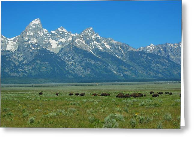 Grazing Snow Greeting Cards - Buffalo in Colorado Greeting Card by Mountain Dreams