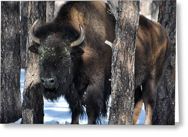 Bearizona Greeting Cards - Buffalo in the Trees Greeting Card by Pamela Schreckengost