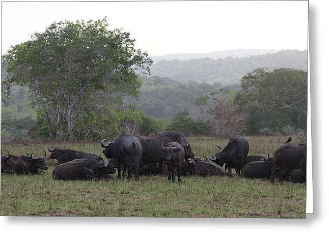 Reserve Greeting Cards - Buffalos Greeting Card by Christian Zesewitz