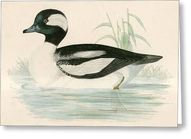 Hunting Bird Greeting Cards - Buffel Headed Duck Greeting Card by Beverley R. Morris