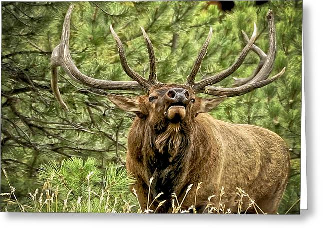 Mating Season Greeting Cards - Bugling Bull Elk II Greeting Card by Ron White