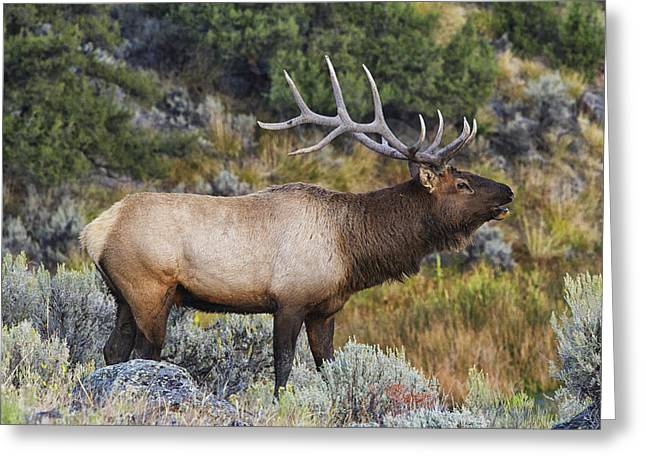 Sagebrush Greeting Cards - Bugling Bull Greeting Card by Mark Kiver