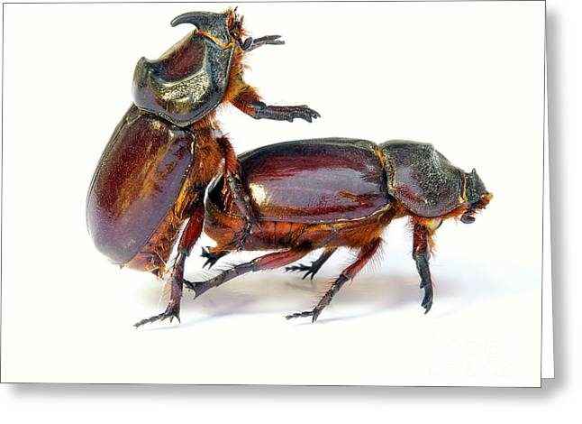 Erection Greeting Cards - Bugs sex Greeting Card by Sinisa Botas