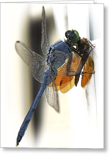 Dragonflies Greeting Cards - Bugzilla Greeting Card by Darlene Kwiatkowski