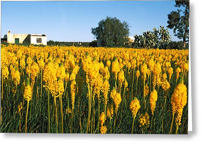 Northern Africa Greeting Cards - Bulbinella Nutans Flowers In A Field Greeting Card by Panoramic Images