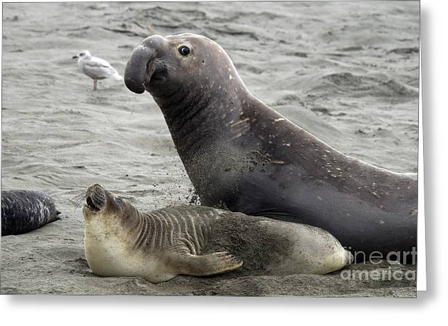 Ocean Mammals Greeting Cards - Bull Approaches Cow Seal Greeting Card by Mark Newman