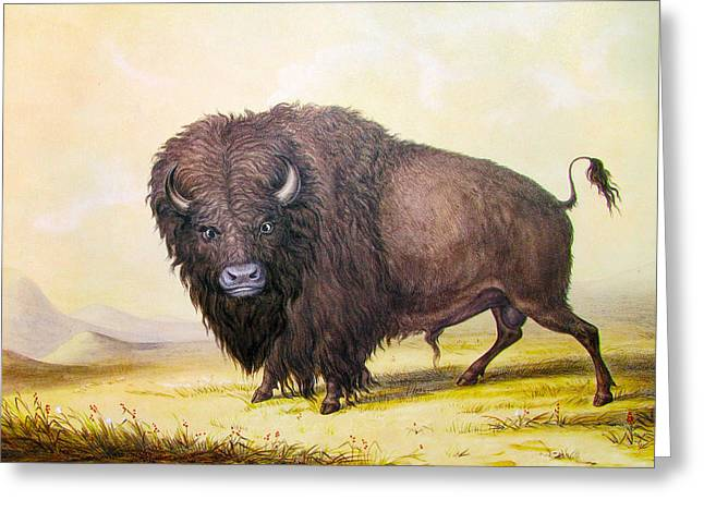Western Western Art Greeting Cards - Bull Buffalo Greeting Card by George Catlin