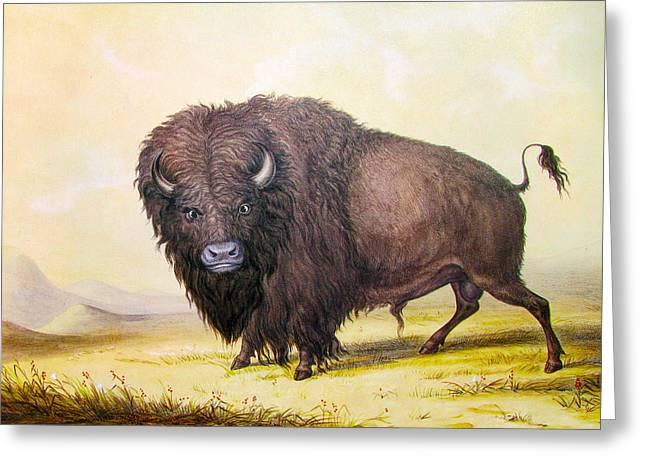 Bull Buffalo Greeting Card by George Catlin