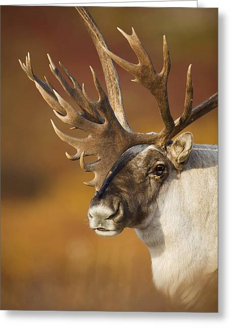 Caribou Greeting Cards - Bull Caribou On Autumn Tundra In Denali Greeting Card by Milo Burcham
