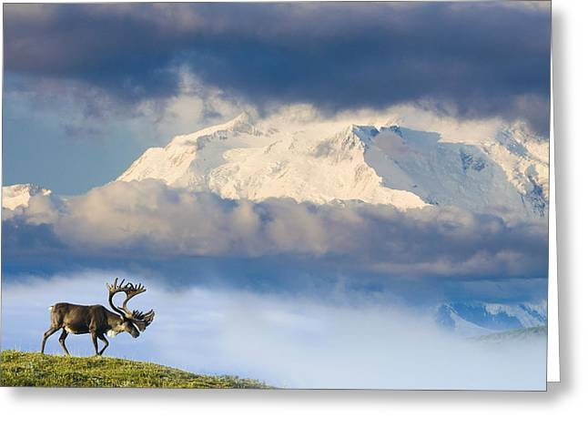 Caribou Greeting Cards - Bull Caribou Walks On Tundra Ridgeline Greeting Card by Michael DeYoung
