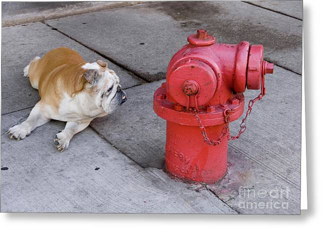 Linda Matlow Greeting Cards - Bull dog and the fire hydrant standoff Greeting Card by Linda Matlow
