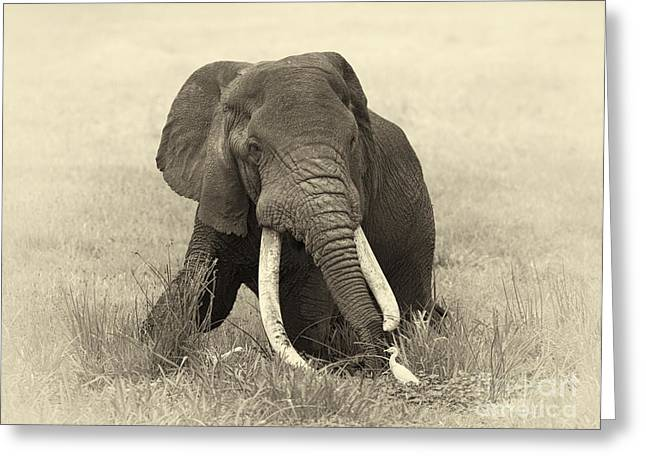 Craters Greeting Cards - Bull Elephant Greeting Card by Richard Garvey-Williams
