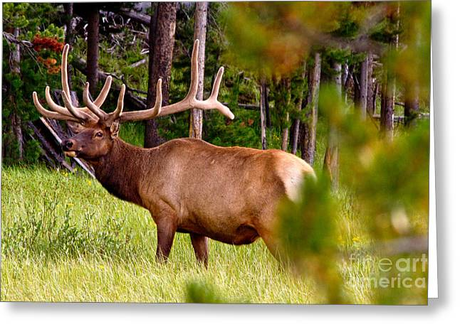 Rack Greeting Cards - Bull Elk Greeting Card by Bill Gallagher