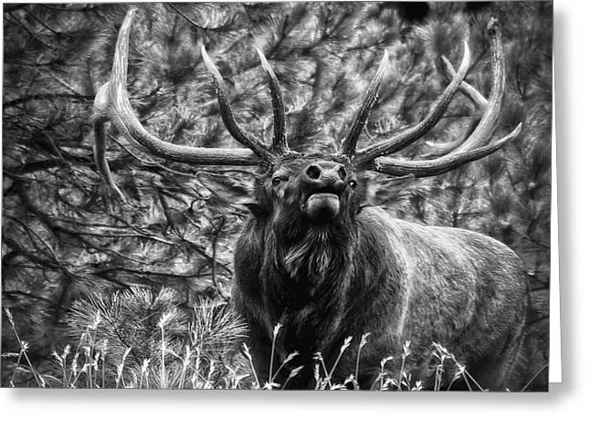 Bull Elk Bugling Black and White Greeting Card by Ron White