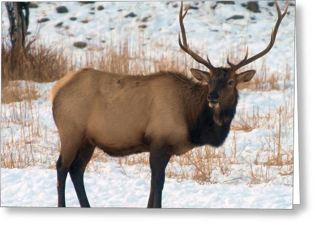 Best Sellers -  - Oak Creek Greeting Cards - Bull Elk  Greeting Card by Jeff  Swan