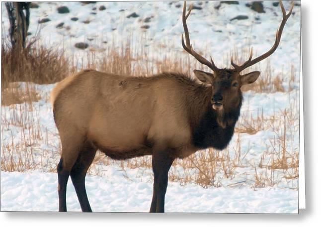 Bull Elk  Greeting Card by Jeff Swan