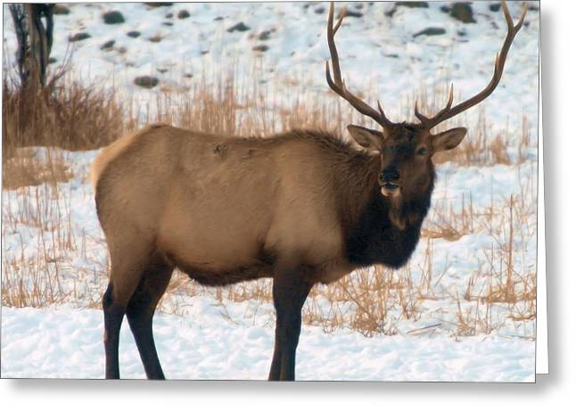 Living Things Greeting Cards - Bull Elk  Greeting Card by Jeff  Swan