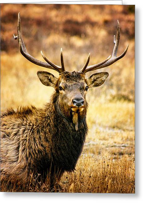 Rocky Mountain National Park Greeting Cards - Bull Elk Greeting Card by Juli Ellen