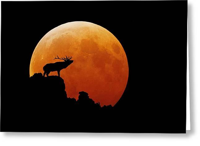 Bull Elk Greeting Card by Stuart Harrison