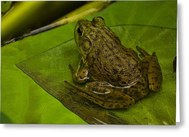 Lilly Pad Greeting Cards - bull frog on a Lilly pad Greeting Card by Chris Flees